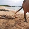 仔馬ちゃん、浜で寝る