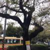 相模原市が、桜を伐採・補植します!