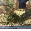 ライブロックから海藻、放置していたらもの凄い成長に。タカツキヅタ?スズカケヅタ?