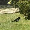 イギリスの野鳥たち② ピカピカな鳥 マグパイの鳴き声はとってもユニーク