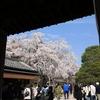 世界文化遺産「醍醐寺」枝垂れ桜2018