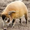 アカカワイノシシの特徴:web動物図鑑