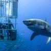 サメはなぜ人を噛むのか じゃれているだけだった?