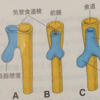 発生学3 呼吸器系・消化器系