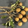 Longan (ロンガン、龍眼)のタネからの栽培。