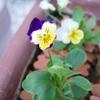 真夏に咲いているレモンイエローのビオラと紫と黄色のビオラ