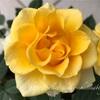 """【庭】Rosa.min """" Golden Aloha Kordana """""""