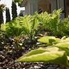 コゴミ、ギボウシを植える
