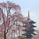 京都の桜・紅葉の名所!ライトアップと見頃チェック!