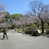 八代城跡の桜、一応開花はしました。
