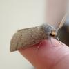 可愛らしい蛾は、ヒロバトガリエダシャク?