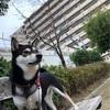 柴犬・大和のボール遊び