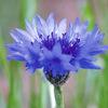 今日の誕生花「ヤグルマギク」青いヤグルマギクは数本でも群生でもきれいな花!