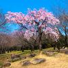 平塚市総合公園の桜が見頃を迎えています。
