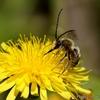 知らないミツバチ?