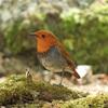 コマドリ、コルリなど春の野鳥に会えました!