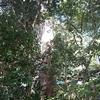 #440 来宮神社の大木(たいぼく)