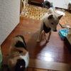 【ご報告】柴犬ばん太とスコティッシュフォールド没っちゃんを手放しました。