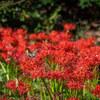 小石川植物園の彼岸花が見頃です!【2018年】