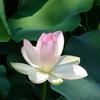 *市内の池尻池の蓮が綺麗に咲いていると聞いて、
