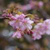 早くも河津桜が咲き始めました(前編)