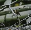 ジィちゃんと探鳥、檜原都民の森の野鳥。
