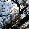 梅の花が満開なので、お花見に京都まで行ってきました♪