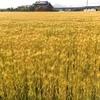 糸島市 黄金色に染まる麦の秋♪