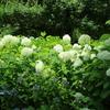 府中郷土の森博物館の紫陽花
