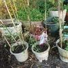 春の花の植え付けとイノコズチ