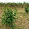 喜界島で島桑を挿し木してみました