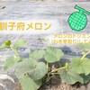 訓子府メロン~管理作業の「わき芽かき」~