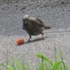 「ヒヨドリ」、道路上で「トマト」を食す!