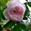 マダム・アルフレッド・ドゥ・ルージュモンの開花MadameAlfred de Rougemont