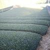 茶畑への敷き草などを実施中