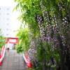 旬を逃した亀戸天神社の風景。