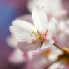 春の陽射しに誘われて 桜は招く肩に花びら