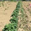 夏野菜は何を定植しようかな?