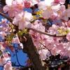 桜に迎えられたCD記念ライブ ♪