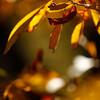 カナクギノキ:小鳥の森