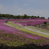 おおた芝桜まつりin群馬県太田市