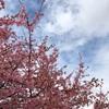 河津桜祭り☆そーらん出演