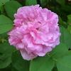 「コントゥ・ドゥ・シャンボール」の二番花