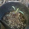 ヤグルマソウ(ヤグルマギク)の植え込み