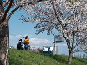 札幌・総延長10.5kmの「新川さくら並木」でお花見