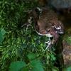 アズマヒキガエル Bufo japonicus formosus
