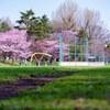 円山公園坂下球場のサクラが満開です