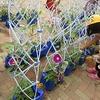1年生:アサガオの成長