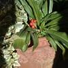 万年青の実を蒔く。チョモヌクヌク