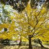 奈良公園の大銀杏の色付き2020@番外編